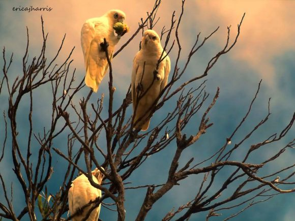 White_Corellas
